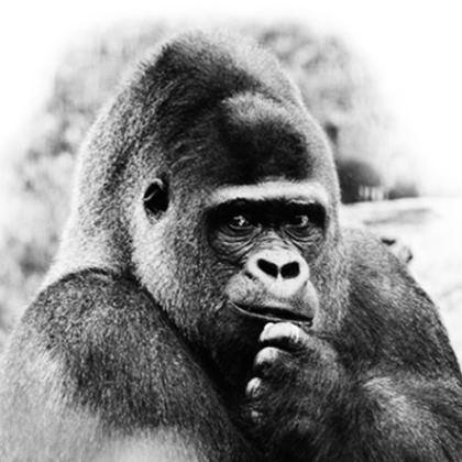 Gorilla Coasters